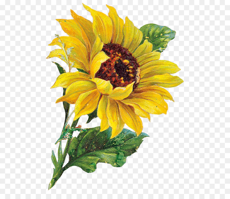 clip art image openclipart free content common sunflower sunflower