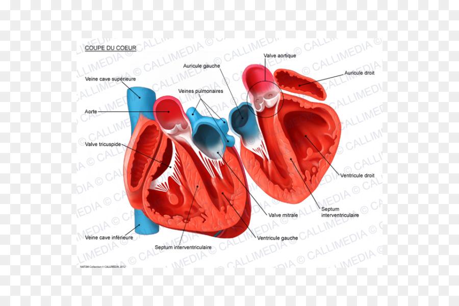 Heart Human Anatomy Circulatory System Cross Section Heart Png