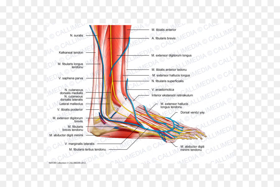 Foot Nerve Human Anatomy Muscle Chinese Arch Png Download 600