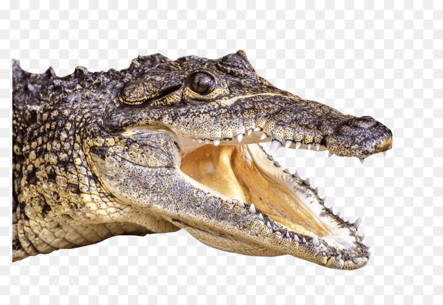 Cocodrilo del nilo Enojado playa Salvaje caza del cocodrilo sim ...
