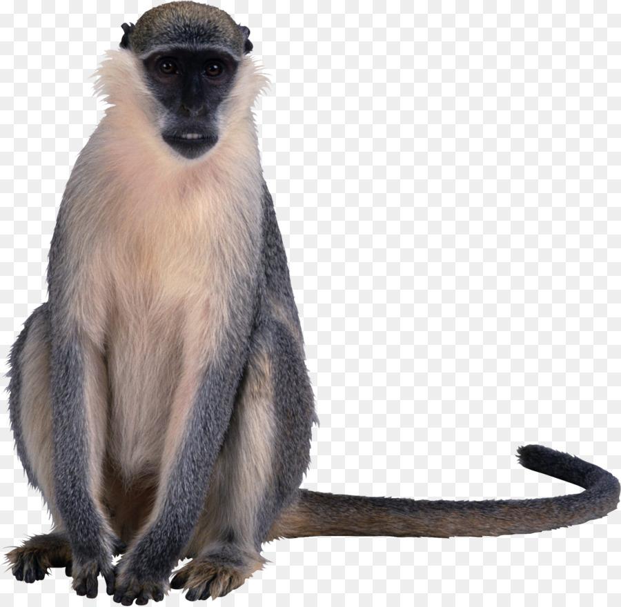 Makaken Primaten der Alten Welt Affen clipart - Affe png