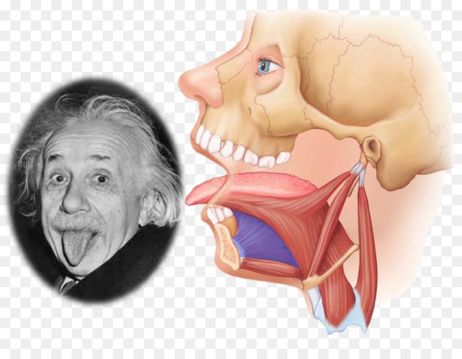 Genioglossus Styloglossus Hyoglossus Muscle Anatomy - tongue png ...