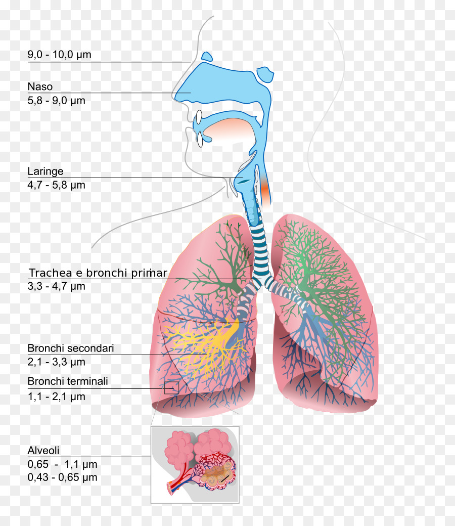 The respiratory system lung diagram breathing human body clipart the respiratory system lung diagram breathing human body clipart ccuart Image collections