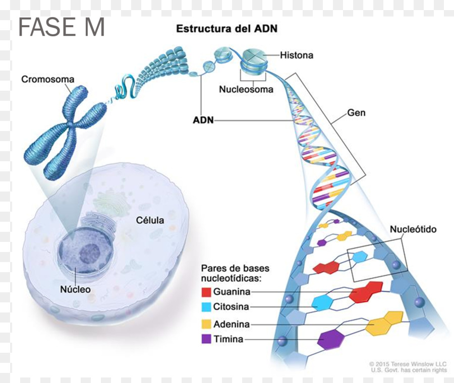 Dna chromosome cell gene genome dna helix png download 13501124 dna chromosome cell gene genome dna helix ccuart Image collections