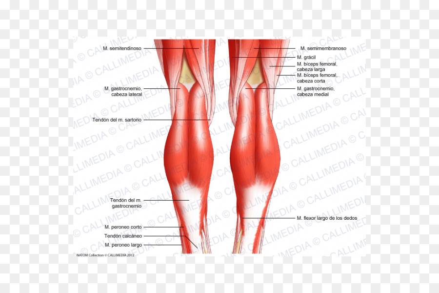 Knee Human body Tendon Anatomy Diagram - biceps png download - 600 ...