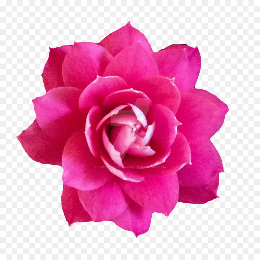 Garden Roses Cabbage Rose Pink Flowers Floribunda Baby
