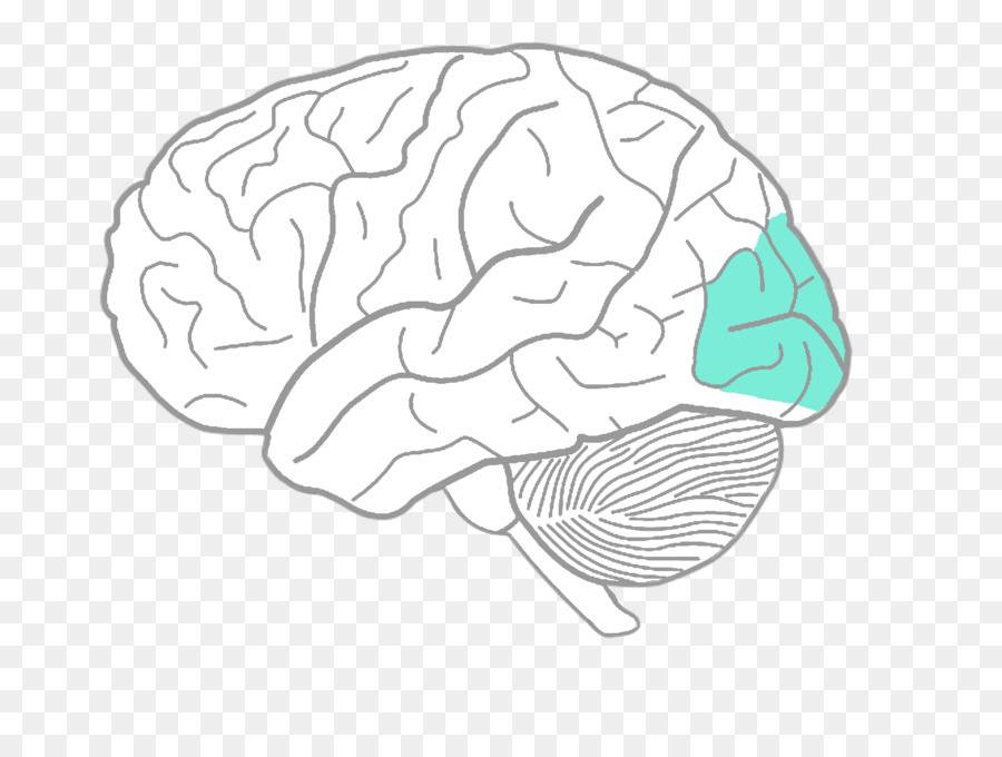 Libro Da Colorare Cervello Umano Diagramma Di Disegno Cervello
