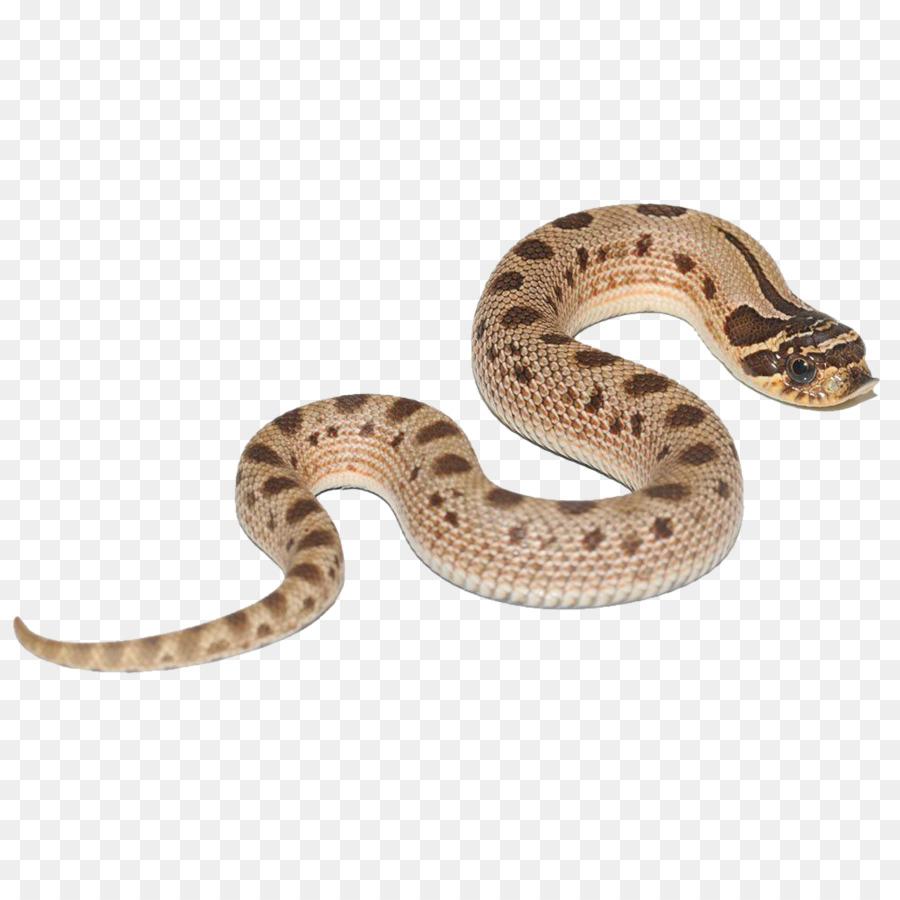 boa constrictor hognose snake snakes reptile green anaconda
