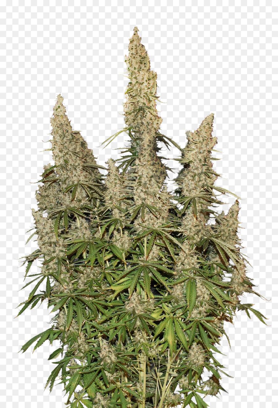 Autoflowering Cannabis White Widow Cannabis Sativa Cannabis