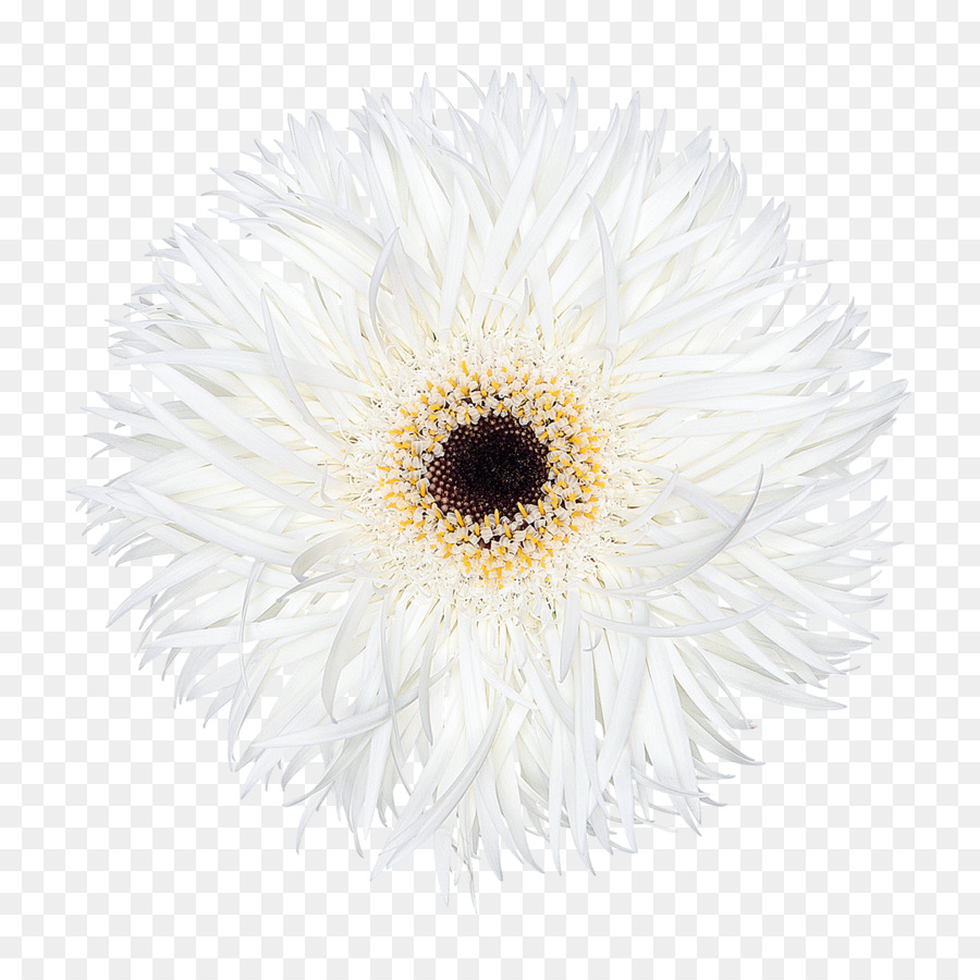 Chrysanthemum transvaal daisy oxeye daisy cut flowers daisy family chrysanthemum transvaal daisy oxeye daisy cut flowers daisy family chrysanthemum izmirmasajfo