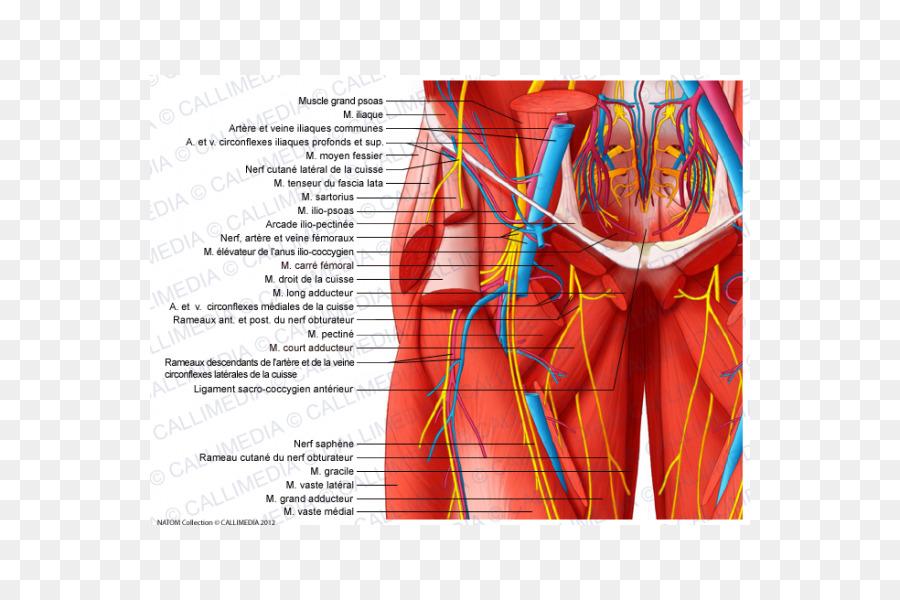 Pelvis Nerve Human Body Blood Vessel Hip Atom Ant Png Download