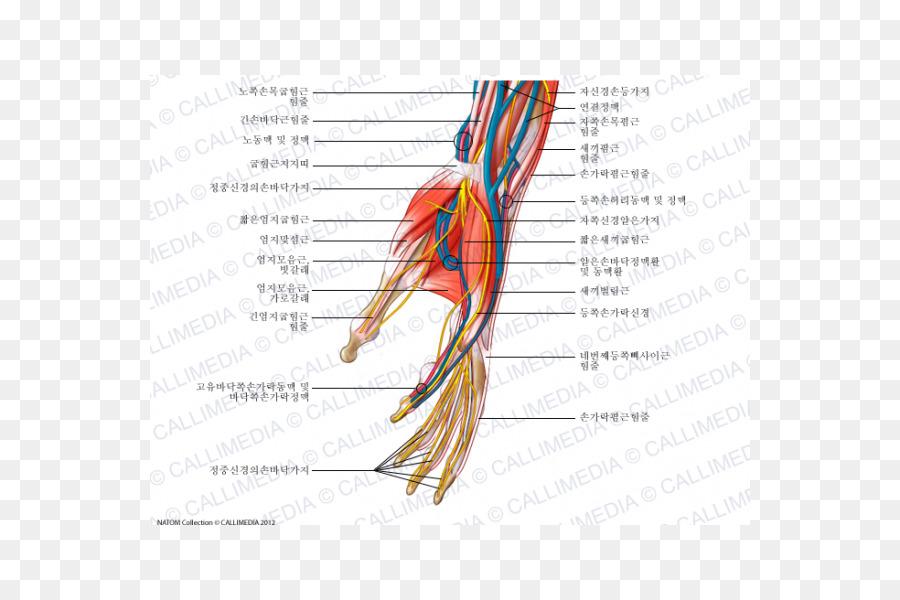 Nerve Hand Nervous System Human Anatomy Blood Vessel Hand Png