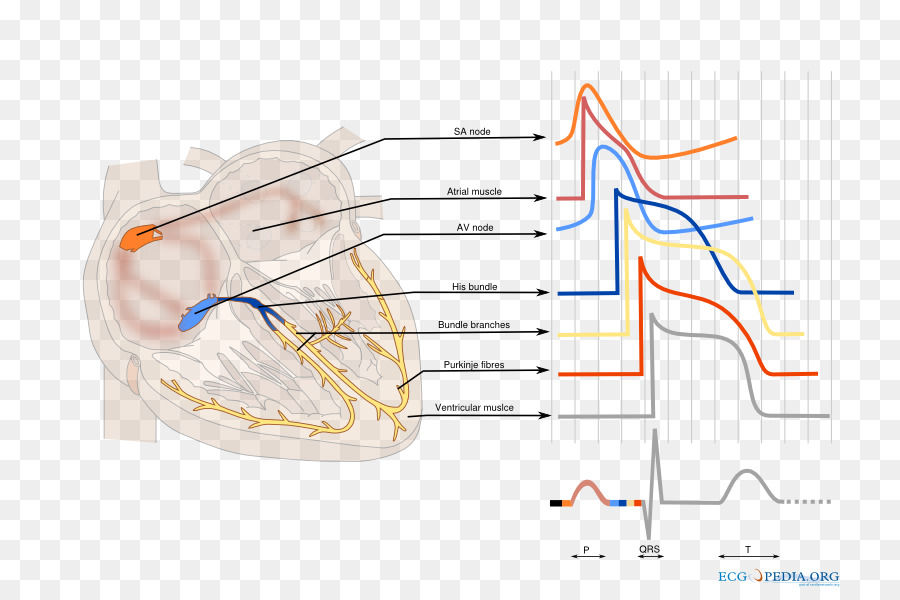 Electrical conduction system of the heart cardiology cardiac action electrical conduction system of the heart cardiology cardiac action potential electrocardiography heart ccuart Choice Image