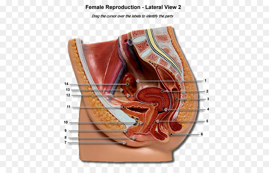 Female reproductive system Human body Uterus Gestation - parts of ...