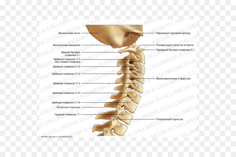 Vertebral column Cervical vertebrae Bone Anatomy - Hueso png ...