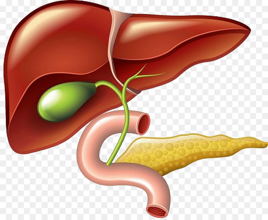 Liver And Gallbladder Clip Art Pancreas Pancreas Png Download