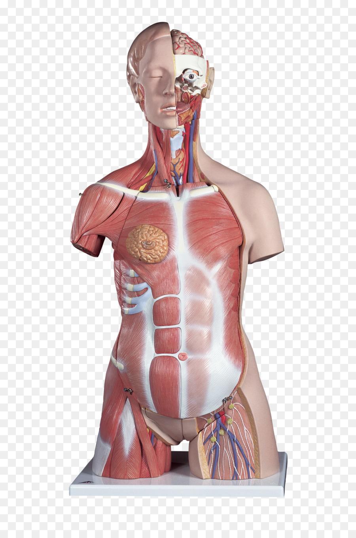 El Torso de la Anatomía del cuerpo Humano Muscular - Torso png ...