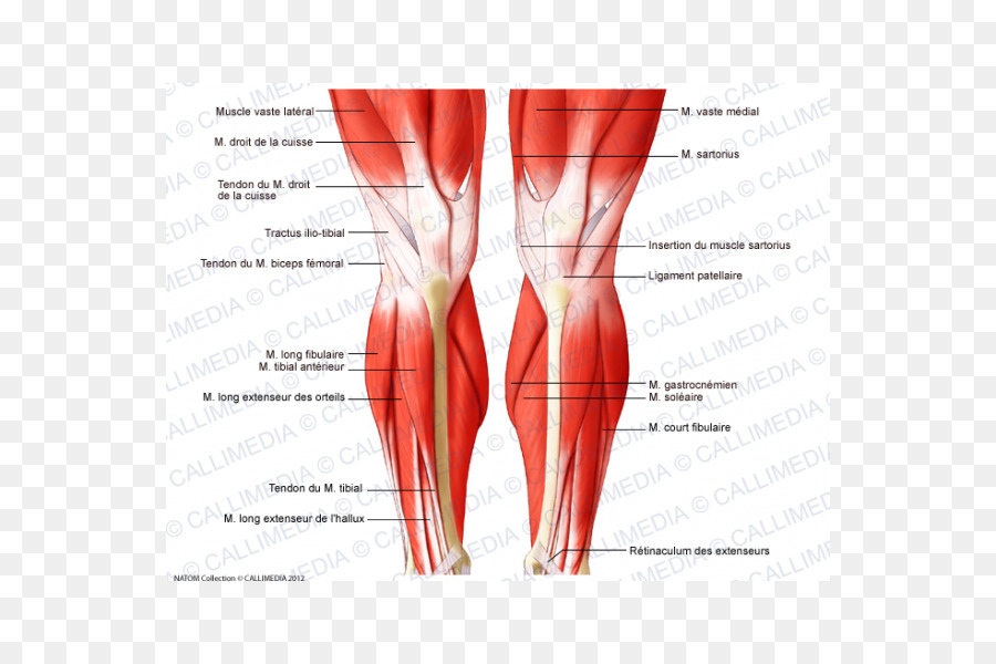 Knee Muscle Human body Anatomy Tendon - muscular System png download ...