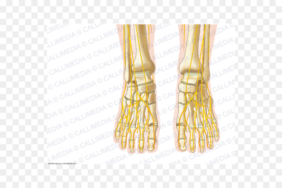 Human Anatomy Foot Nerve Nervous System Bone Foot Anatomy Png
