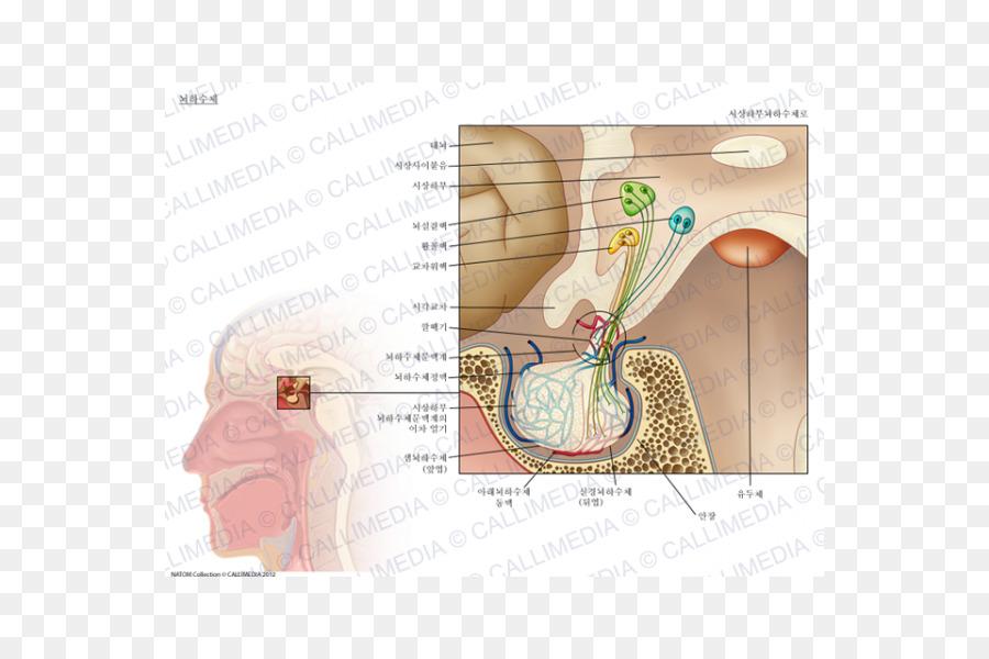 Pituitary Gland Hypophyseal Portal System Anatomy Endocrine System