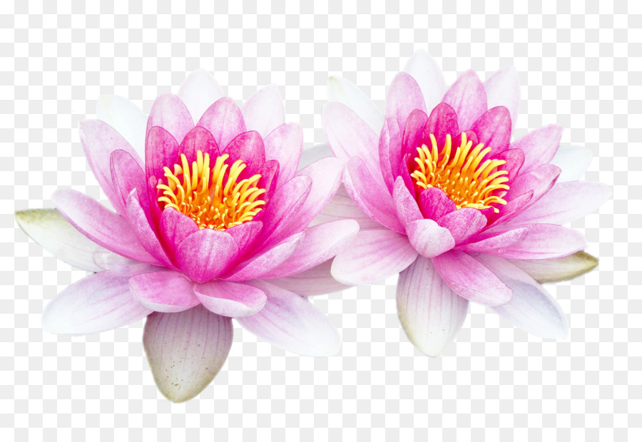 Portable Network Graphics Adobe Photoshop Download Sacred Lotus