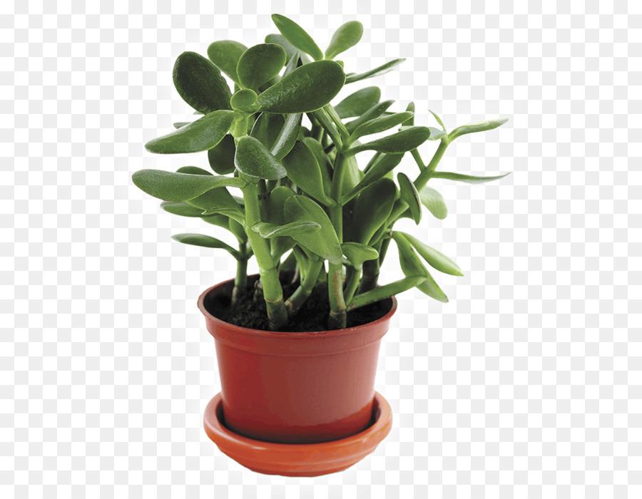 Super Kakteen und andere Sukkulenten, Zimmerpflanzen, Zimmerpflanze LN31