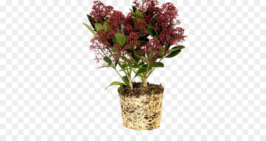 Skimmia Japonica Plants Buxus Sempervirens Flowerpot Shrub