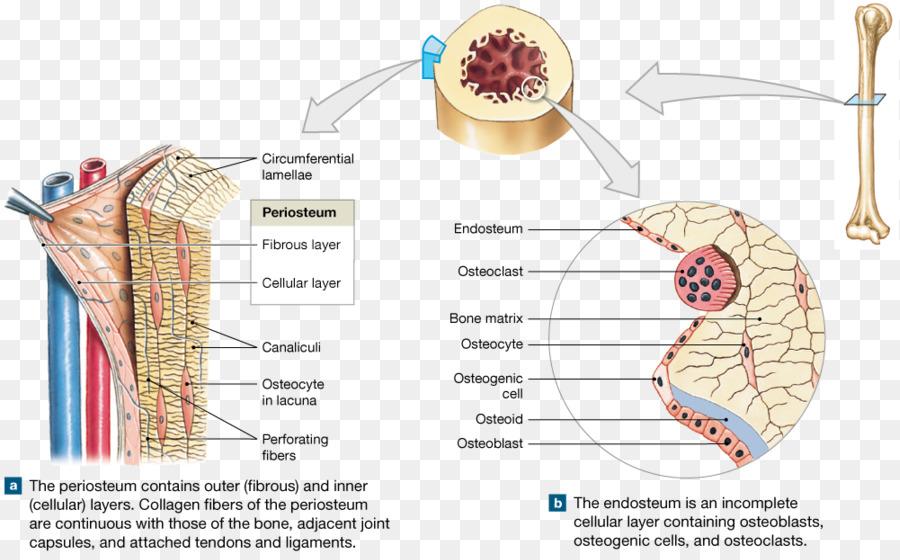 Osteon Endosteum Trabekel Periost Knochen - kompakten Knochen png ...