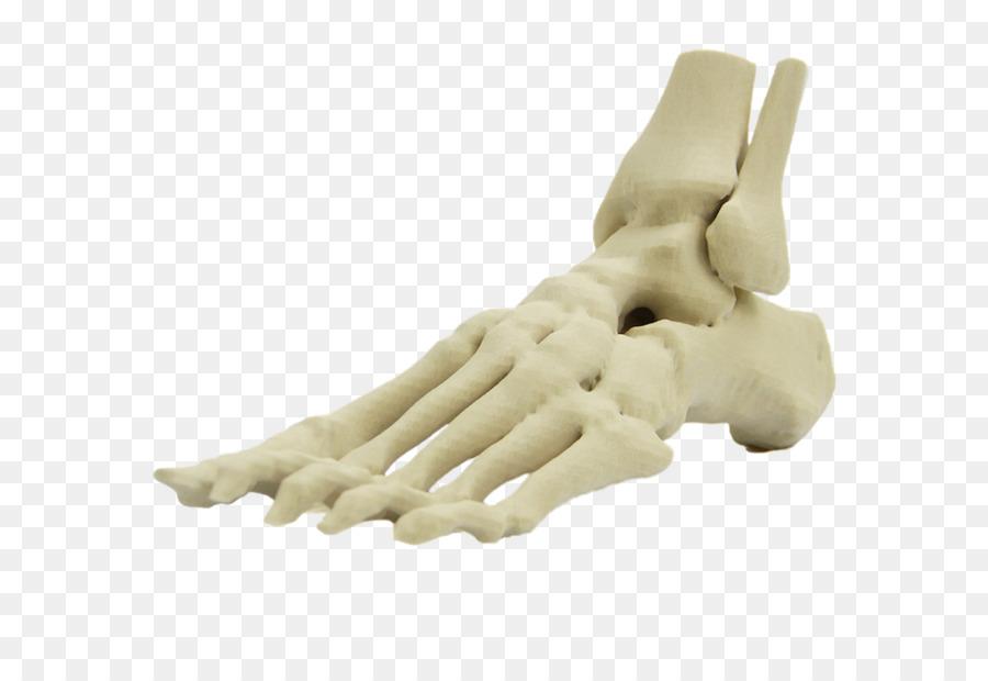 Fuß, Menschliches Skelett Anatomie Menschliche Körper Finger ...