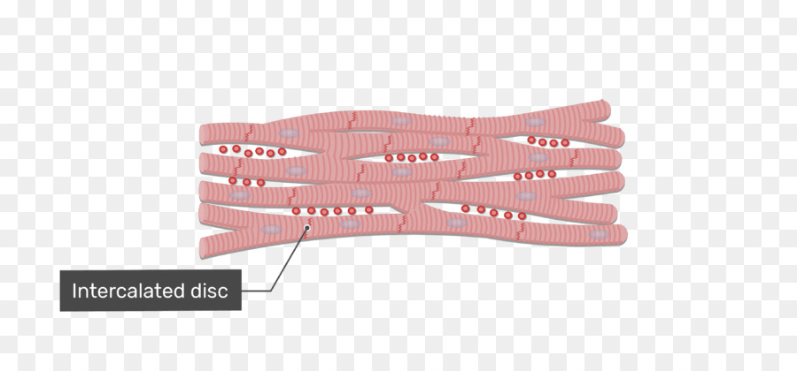 Cardiac muscle cell Intercalated disc Muscle tissue - muscular ...
