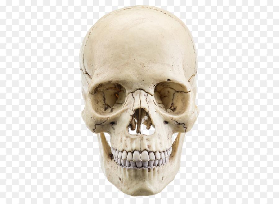 The Human Skull Stock Photography Anatomy Bone Bone Tissue Png
