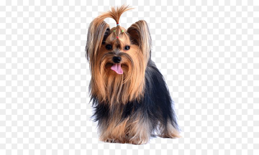 Yorkshire Terrier Australian Silky Terrier Australian Terrier Morkie