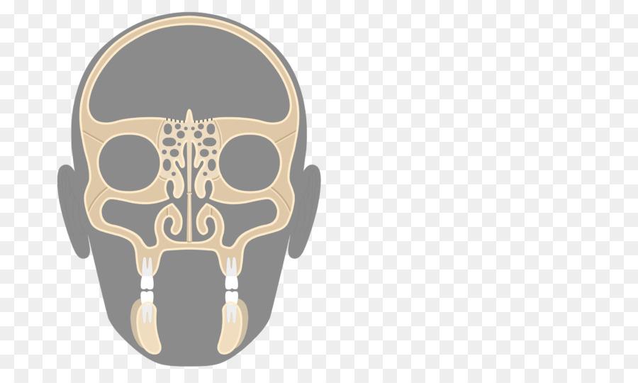 Cráneo Maxilar hueso Etmoides senos Etmoidales - etmoides hueso ...