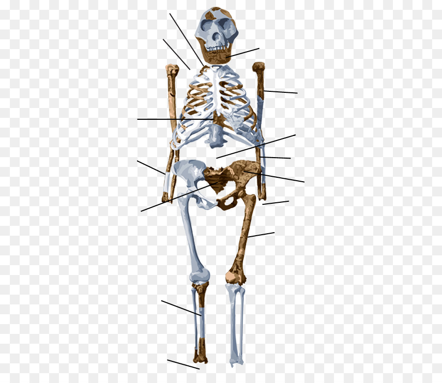 Schimpanse Australopithecus afarensis Lucy Menschliche Skelett ...