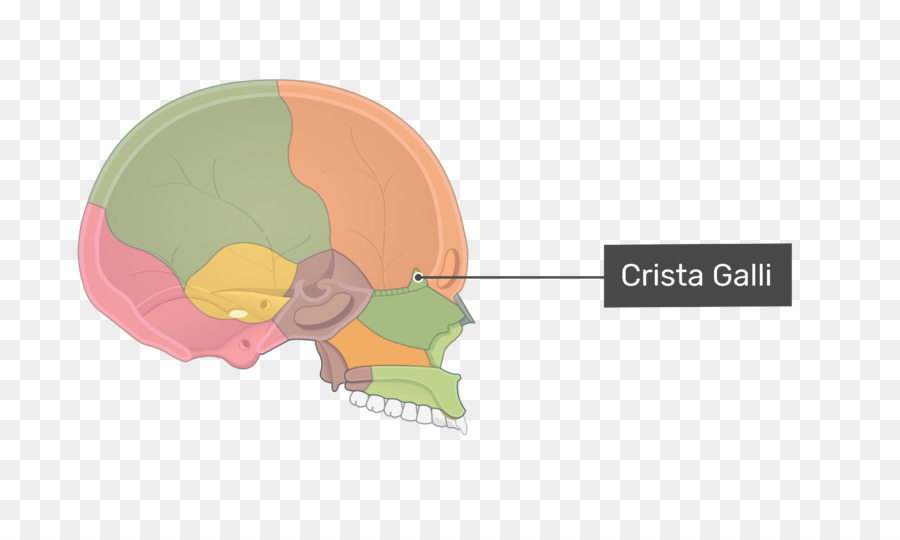 Ethmoid bone Ethmoid sinus Skull Crista galli - ethmoid bone ...