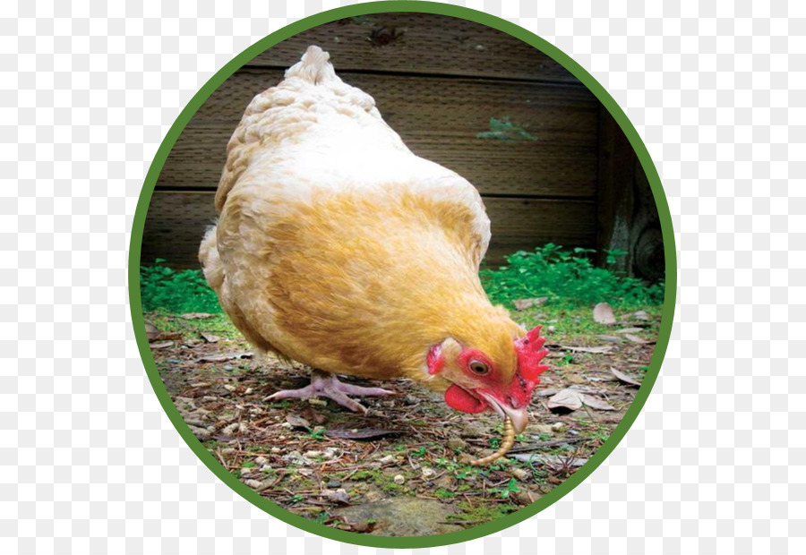 Urban chicken Poultry Bird How to Raise Backyard Chickens: The Complete  Guide to Caring for Chicks to Laying Hens - chicken farming permaculture - Urban Chicken Poultry Bird How To Raise Backyard Chickens: The