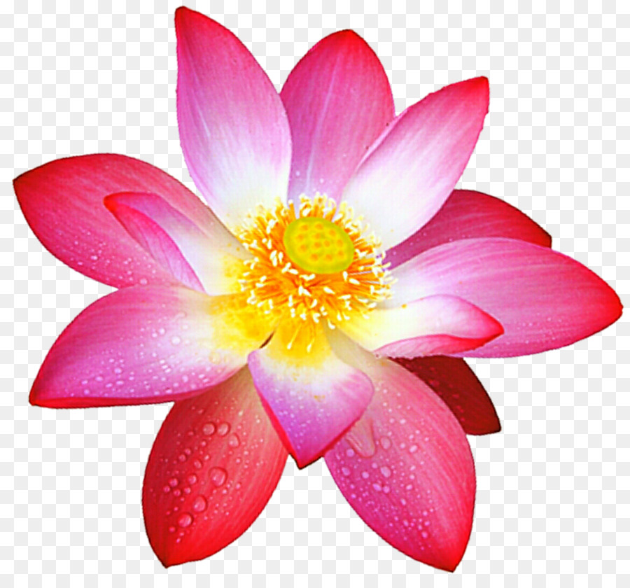 Sacred Lotus Flower Deviantart Painting Flower Png Download 1024