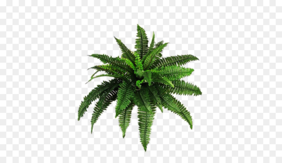 Vascular Plant Palm Trees Fern Portable Network Graphics Image Bamboo Png 512 Free Transpa