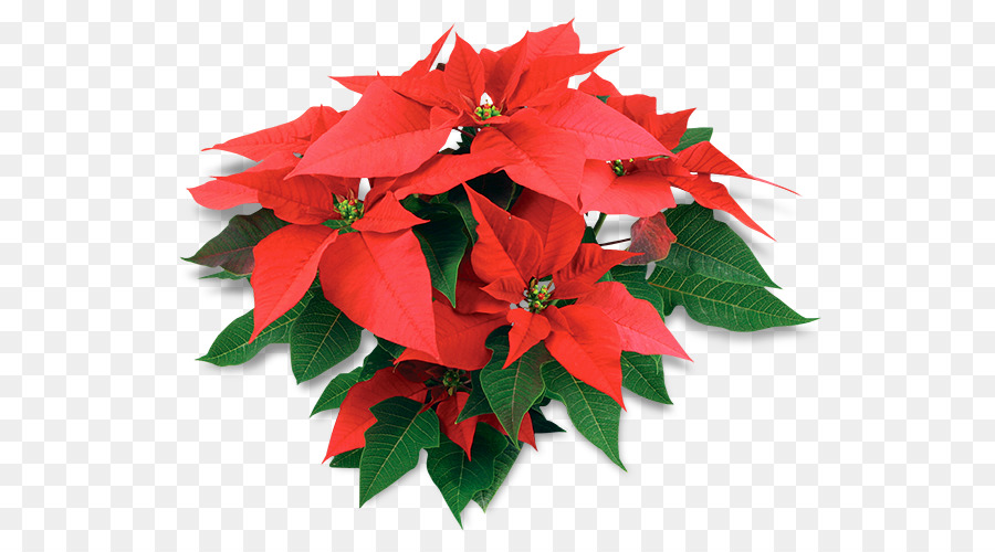 Poinsettia, Christmas Day, United States Of America, Flower, Plant PNG