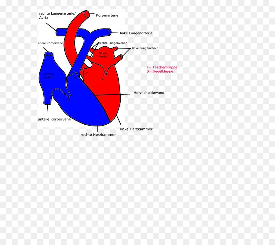 Heart Circulatory System Cardiovascular Disease Organ Myocardial