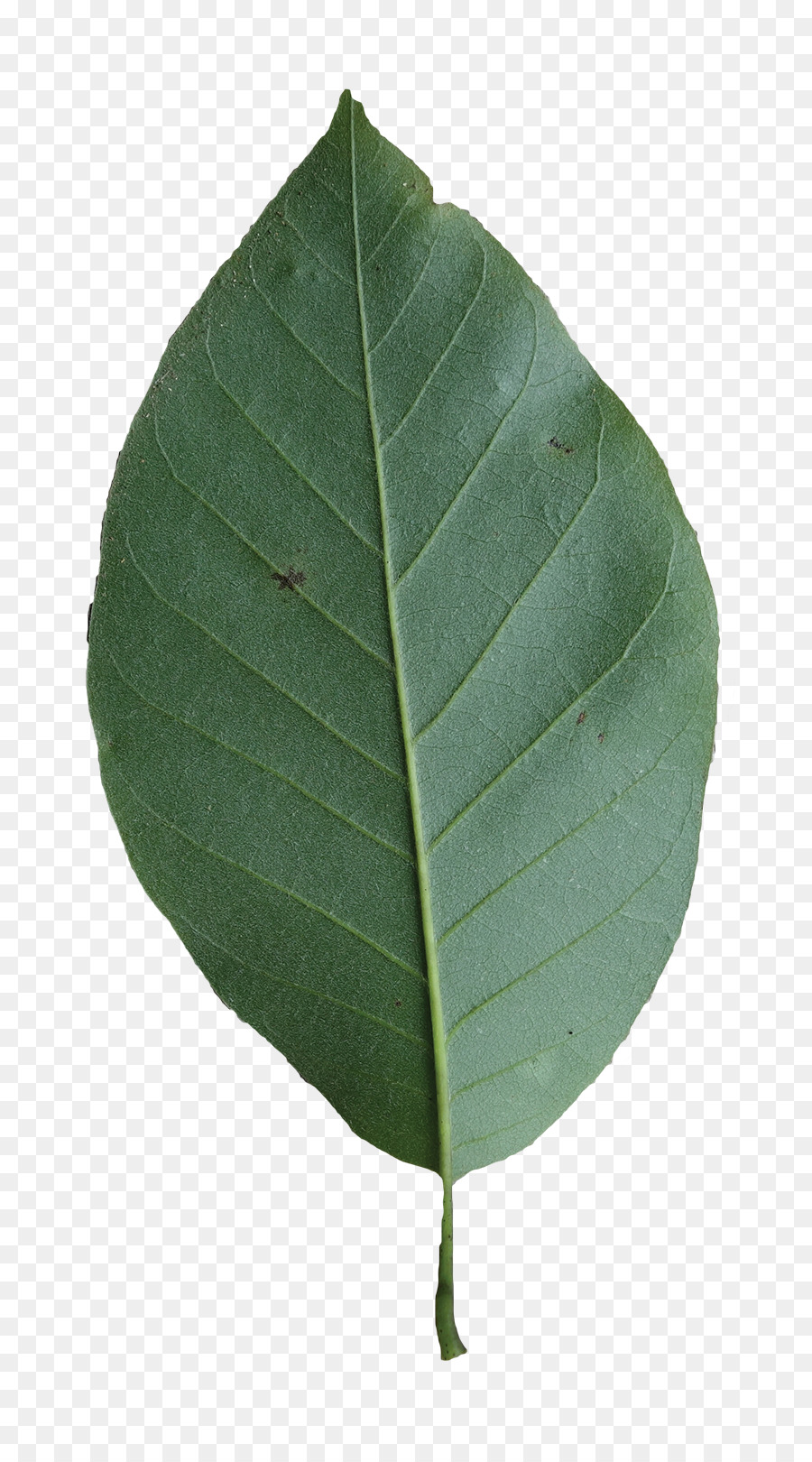 Leaf Magnolia Tree Leaves Turning Yellow Png Download 8001604